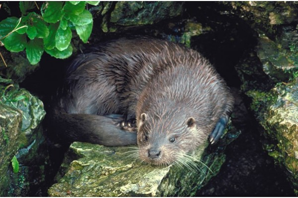 Otter photograph with thanks to NRW