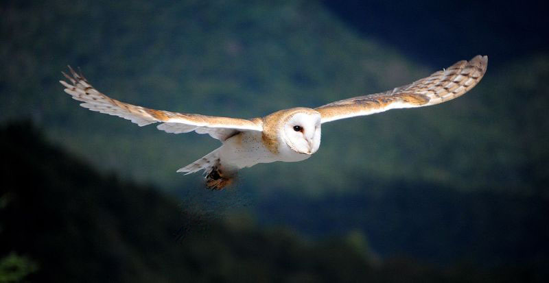 Barn Owl - Blodeuwedd