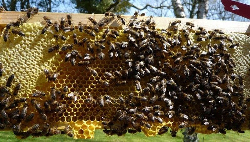 Nature Honeybees Bee Beekeeping Honeycomb Honey