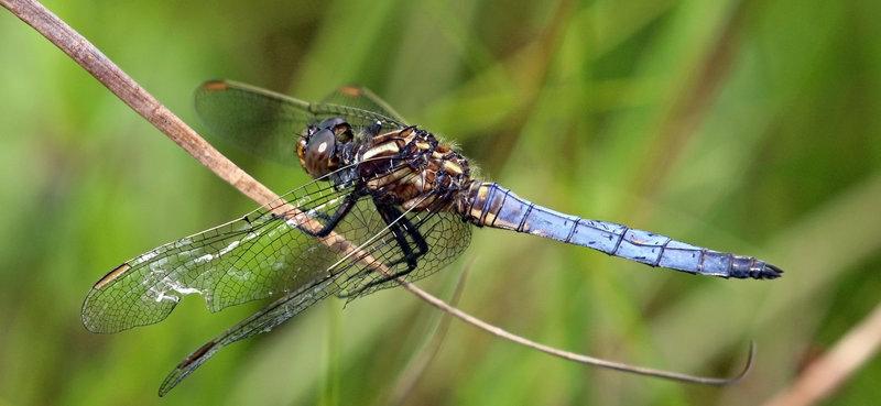 dragonfly id